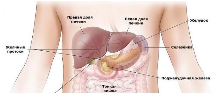 selezenka1 Функции селезенки в организме человека.