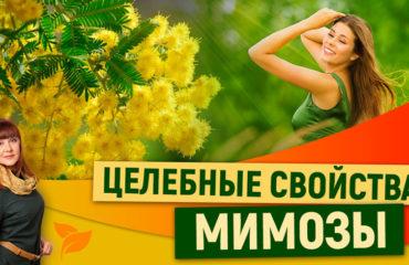 Мимоза: Целебные свойства